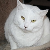 Domestic Shorthair Cat for adoption in Ephrata, Pennsylvania - Evie