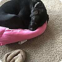 Adopt A Pet :: Andinse - Hainesville, IL