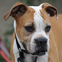 Adopt A Pet :: Modelo - Alameda, CA