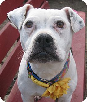 English Bulldog Mix Dog for adoption in Voorhees, New Jersey - Athina