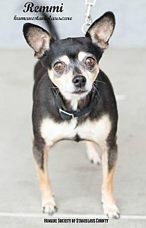 Chihuahua/Terrier (Unknown Type, Small) Mix Dog for adoption in Modesto, California - REMMI