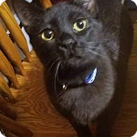 Adopt A Pet :: Solomon Grundy - Warren, MI