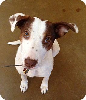 Australian Cattle Dog/Brittany Mix Dog for adoption in Phoenix, Arizona - Missy