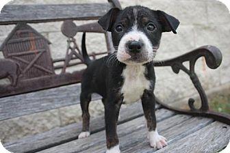 Australian Cattle Dog Mix Puppy for adoption in Stilwell, Oklahoma - Hank