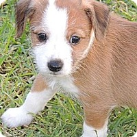 Adopt A Pet :: Charlie - La Habra Heights, CA
