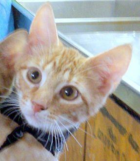Domestic Mediumhair Kitten for adoption in Madisonville, Louisiana - Emma