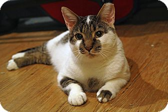 Domestic Shorthair Cat for adoption in St. Louis, Missouri - Slim