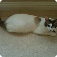 American Shorthair Cat for adoption in Pasadena, California - Bloop