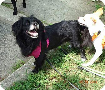 Spaniel (Unknown Type) Dog for adoption in Freeport, New York - Peter