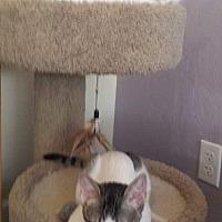 Adopt A Pet :: Cocoa Puff - Scottsdale, AZ