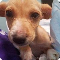 Adopt A Pet :: Clove - Allen, TX