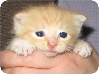 Domestic Shorthair Kitten for adoption in Cincinnati, Ohio - Jennifers Female kitts