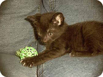 Domestic Mediumhair Kitten for adoption in Orlando, Florida - Brownie