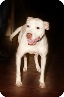 American Pit Bull Terrier Mix Dog for adoption in Montreal, Quebec - Pearl