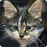 Adopt A Pet :: Fizzgig - Brooklyn, NY