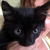 Domestic Shorthair Cat for adoption in Burbank, California - Lil Bear