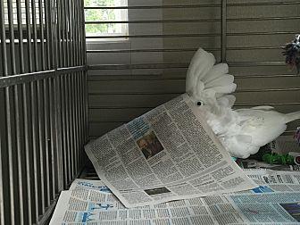 Cockatoo for adoption in Asheville, North Carolina - Mr Tucker