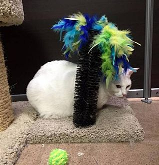 Domestic Shorthair Cat for adoption in Chandler, Arizona - Powder