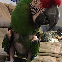Macaw for adoption in Burleson, Texas - Cookie