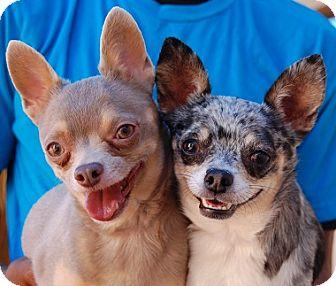 Chihuahua Mix Dog for adoption in Las Vegas, Nevada - Elizabeth