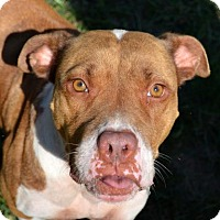 American Pit Bull Terrier Mix Dog for adoption in Ridgeland, South Carolina - Cowgirl