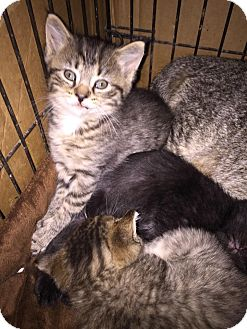 Domestic Shorthair Kitten for adoption in Clay, New York - 8 weeks old kittens