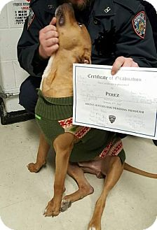 American Pit Bull Terrier Dog for adoption in Cherry Valley, New York - Parez