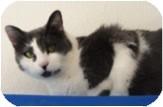 Domestic Shorthair Cat for adoption in El Cajon, California - Rita