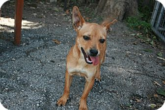 Chihuahua Mix Dog for adoption in San Antonio, Texas - Melissa