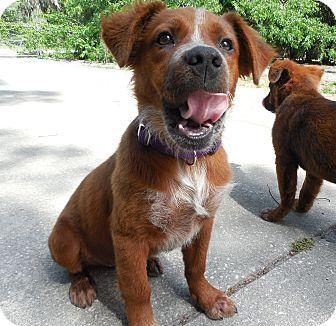 Australian Shepherd Mix Puppy for adoption in Ormond Beach, Florida - Barney