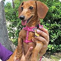 Adopt A Pet :: Gabee - Kingwood, TX