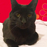 Domestic Shorthair Cat for adoption in Monrovia, California - Scout