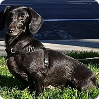 Spaniel (Unknown Type)/Dachshund Mix Dog for adoption in Simi Valley, California - Vienna