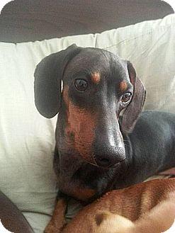 Dachshund Mix Dog for adoption in Georgetown, Kentucky - Joey