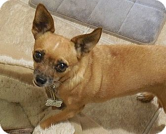 Chihuahua Mix Dog for adoption in Tijeras, New Mexico - Cookie