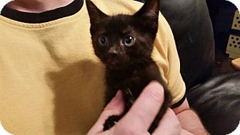 Domestic Shorthair Kitten for adoption in Crocker, Missouri - Salem