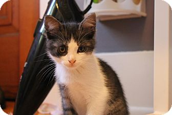 Domestic Shorthair Kitten for adoption in Rochester Hills, Michigan - Berry