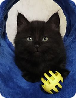 Domestic Shorthair Kitten for adoption in Witter, Arkansas - Bradley (brother of Brandon)