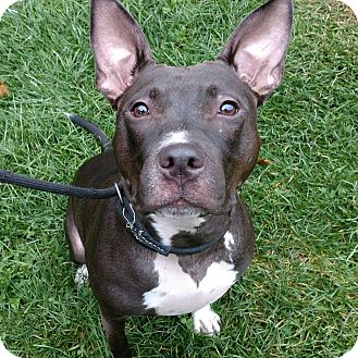 Bull Terrier/American Pit Bull Terrier Mix Dog for adoption in Cherry Valley, New York - Luna