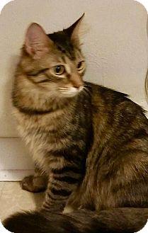 Domestic Mediumhair Cat for adoption in Danbury, Connecticut - Seirra