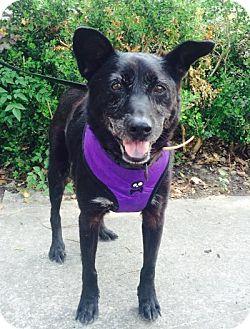 Shepherd (Unknown Type)/Schipperke Mix Dog for adoption in Kingwood, Texas - Poppa