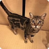 Adopt A Pet :: Sweet Pea - Barrington Hills, IL