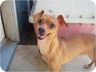 Chihuahua/Dachshund Mix Dog for adoption in Templeton, California - Sofia