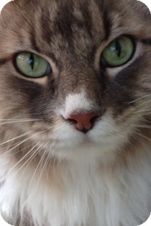 Domestic Longhair Cat for adoption in Weatherford, Texas - Sammie