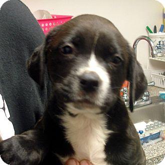 Boxer/Labrador Retriever Mix Puppy for adoption in Greencastle, North Carolina - Paul