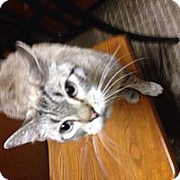 American Shorthair Cat for adoption in Gainesville, Georgia - Mama