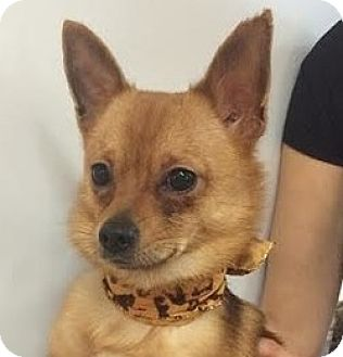 Pomeranian Mix Puppy for adoption in Studio City, California - Lefty