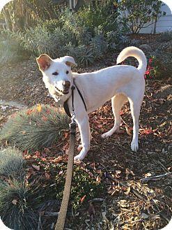 Jindo/Labrador Retriever Mix Dog for adoption in Los Angeles, California - Shelby