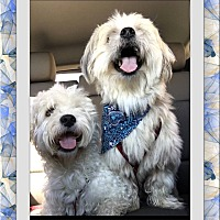 Adopt A Pet :: Moose and Widget - TX - Tulsa, OK