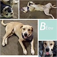 Labrador Retriever Mix Dog for adoption in Austin, Texas - Beau